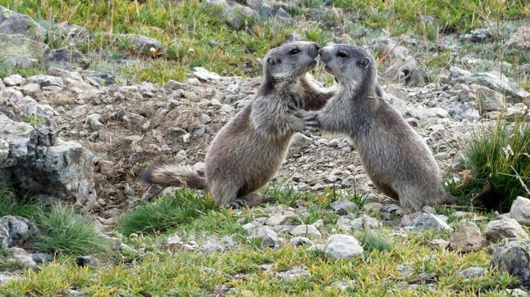 Marmottes ©M. Ducroux