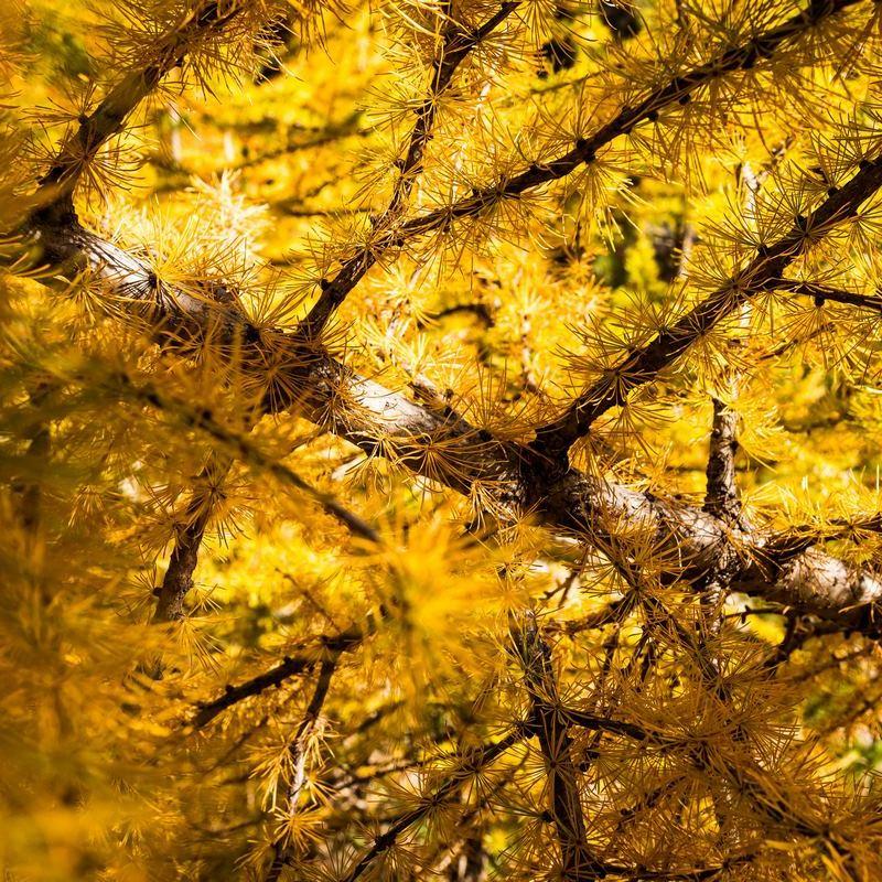 Mélèzes à l'automne